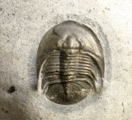 Tropidocoryphe cf filicostata NOVAK 1890