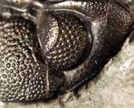 Phacops rana rana