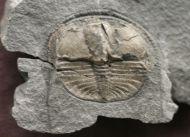 Lloydolithus lloydi (MURCHISON, 1839)