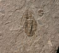Oryctocephalites walcotti (Resser 1938) & Peronopsis brighamensi