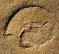 Lingulaticeras solenoides (QUENSTEDT)