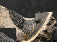 Spinodontochile sp.