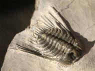 Kettneraspis c.f. bayarti (VIESEN, 2007)