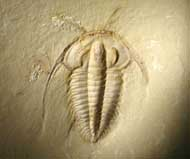 Eoredlichia intermedia  (Lu 1940)