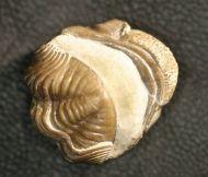 Kainops raymondi (DELO)