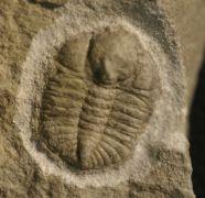 Ampyxina bellatula (Savage, 1917)
