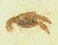 Palaeastacus fuciformis (SCHLOTHEIM)