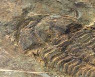 Conocoryphe heberti  (Munier-Chalmas and Bergeron, 1889)