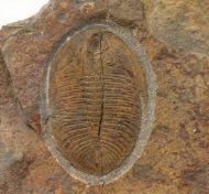 Ogygiocarella debuchii BRONGNIART, 1822