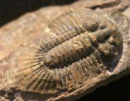 Metascutellum pustulatum (BARRANDE)