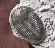Asaphiscus wheeleri MEEK, 1873