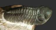 Reedops maurulus ALBERTI, 1970