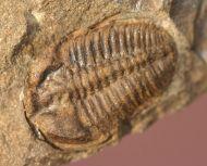 Ctenocephalus coronatus  (Barrande, 1846) &  Ptychoparia dubinka