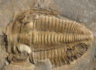 Amecephalus idahoense (Resser 1939)