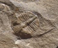 Anebolithus simplicior