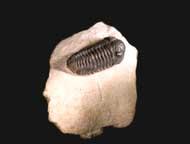 Acastoides cf. hollardi G. ALBERTI 1966