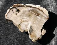 Petrified Wood - Cupressus sp.