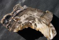 Petrified Wood - Ulmus sp