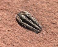 Nephalicephalus beebei  (Peters unpub.)