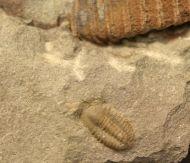 Litavkaspis rejkovicensis FATKA et al., 1987 &  Conocoryphe sp.