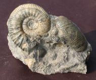 Kepplerites gowerianus  (SOWERBY)