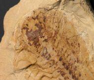 Naraoia (Misszhouia) longicaudata (Zhang & Hou, 1985)
