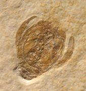 Knebelia bilobata MüNSTER, 1839