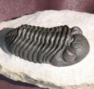 Geesops sparsinodosus (STRUVE,1970)