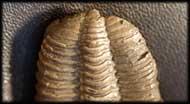 Tapinocalymene nodulosa (SHIRLEY, 1936)