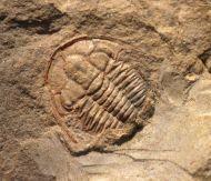 Estaingia bilobata (Pocock 1964)