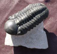 Reedops cephalotes hamlagdadianus Alberti 1983