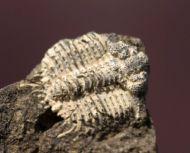 Odontopleura ovata Emmrich, 1839