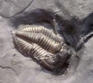 Weberides mucronata (McCOY, 1844)