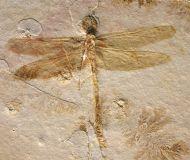 Cymatophlebia  longialata GERMAR 1839