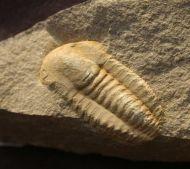 Kingapis  sarhroensis   GEYER 1990