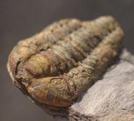 Colpocoryphe bohemica. (Vanek, 1965)