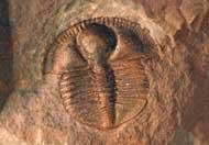 Trinucleus abruptus (ELLES 1940)