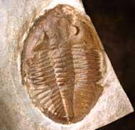 Ogyginus corndensis (MURCHISON,1839)