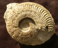 Harpoceras falciferum (Sowerby 1820)