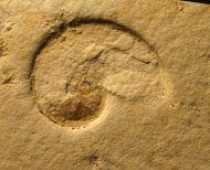 Neochetoceras  sterapsis (OPPEL 1863)