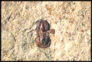 Ptychagnostus cuyanus - Triple