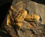 Agraulos ceticephalus (Barrande, 1846)