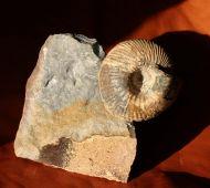 Cadoceras subduevis  (SOWERBY)
