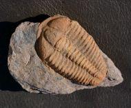 Conocoryphe cirina (Barrande, 1846)