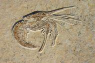 Aeger spinipes SCHLOTHEIM 1812