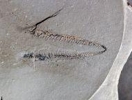 Didymograptus denticulatus, Perner 1895