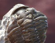 Calymene skalensis Mnnil 1983