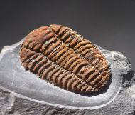 Placoparia tournemini, ROUAULT 1847