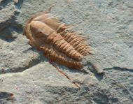 Hamatolenus (Hamatolenus) vincenti GEYER 2004