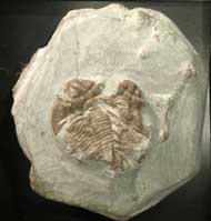 Acanthopyge hirsuta (FLETCHER, 1850)